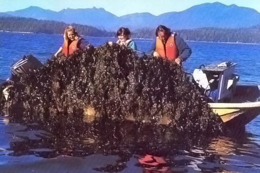 Kelp farming